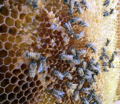 Пчёлы 02
