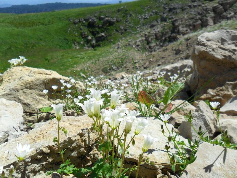 Цветы гор...