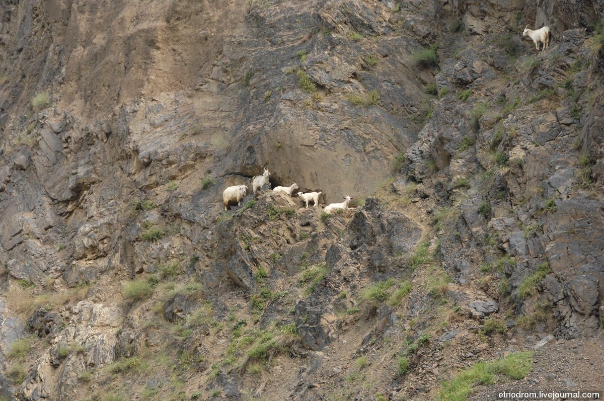 Горные козлы и козы