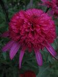 Echinacea Southern Belle.JPG