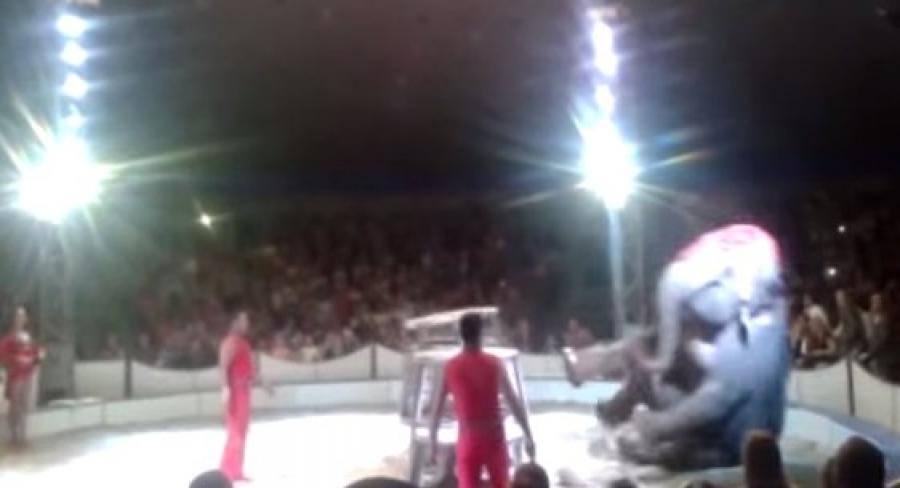 В цирке в Могилёве во время шоу слон рухнул с двухметровой высоты