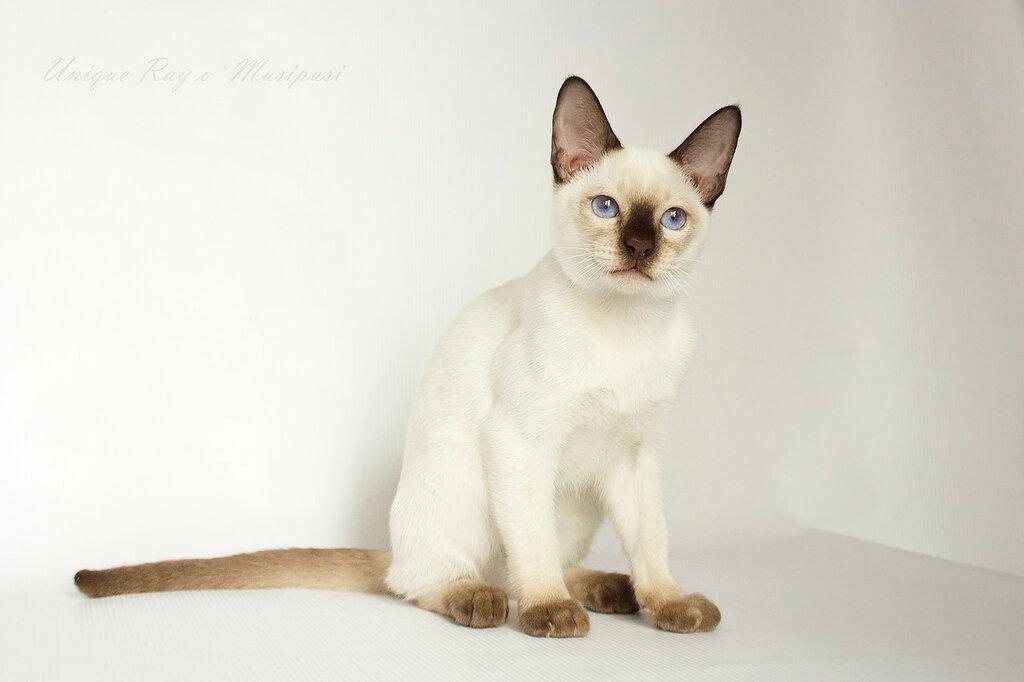 Тайский котенок шоколад-пойнт