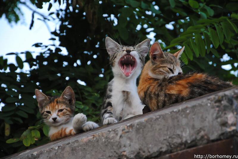 зевающий котенок