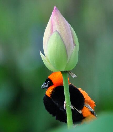 Огненный ткач на цветке лотоса