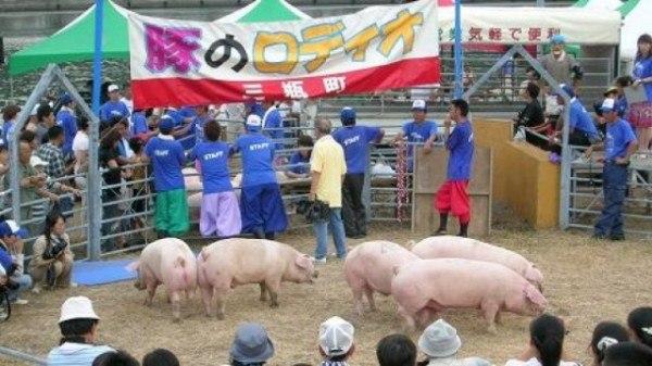 Свиное родео в Японии
