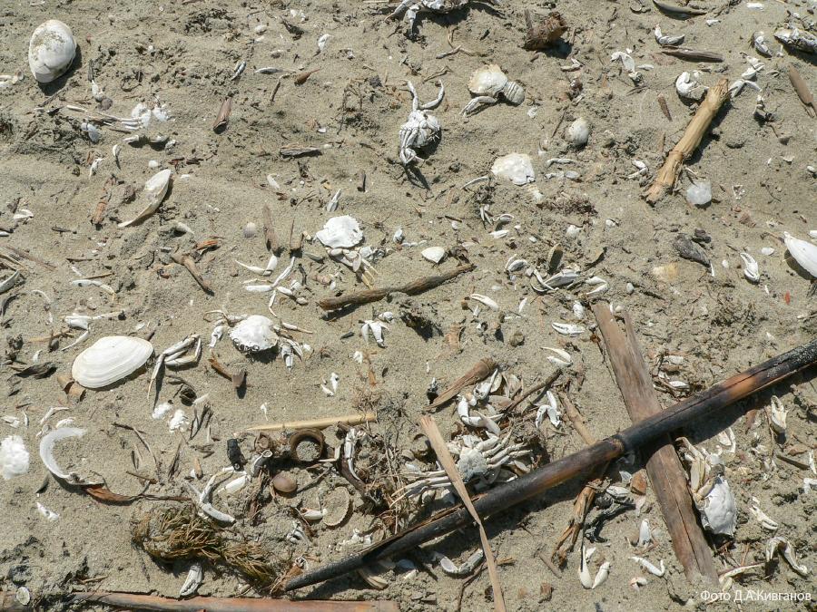 Дунай, 0 км, остатки крабов-плавунцов