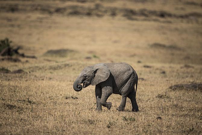 Слоненок ищет себе траву для пропитания, Кения.