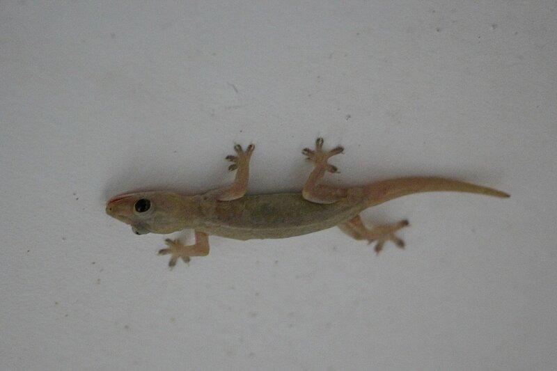 Геккон полупалый домовой (Hemidactylus frenatus) вниз головой висит на потолке