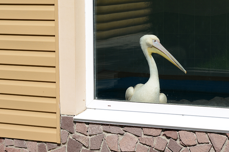 птенец пеликана