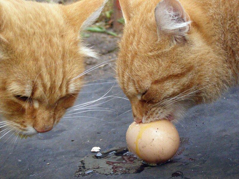 Кот-яйцеед