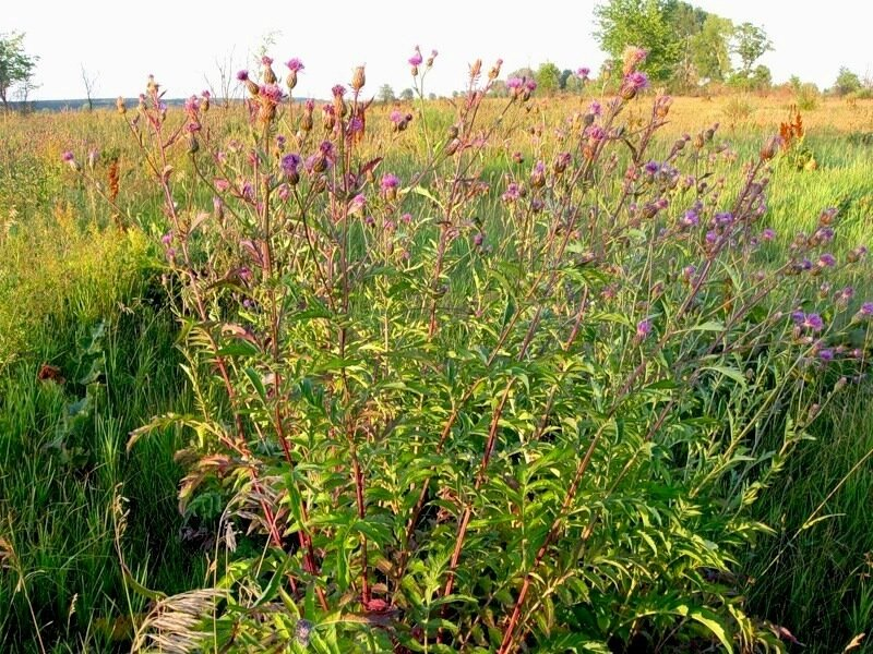 Серпуха венценосная (Serratula coronata)Альбом: цветы и другое