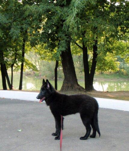 Предлагается щенок бельгийской овчарки грюнендаль (сука 3,5 мес.) от...