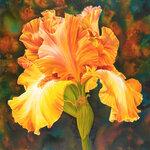 Iris-of-Gold.jpg