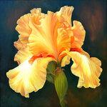 Yellow-Iris.jpg