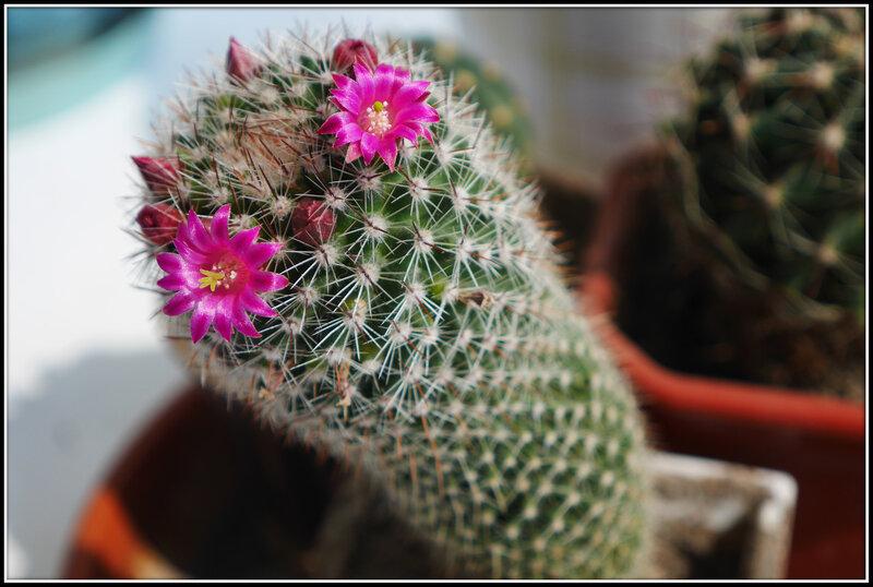Сколько цветет кактус в домашних условиях 186