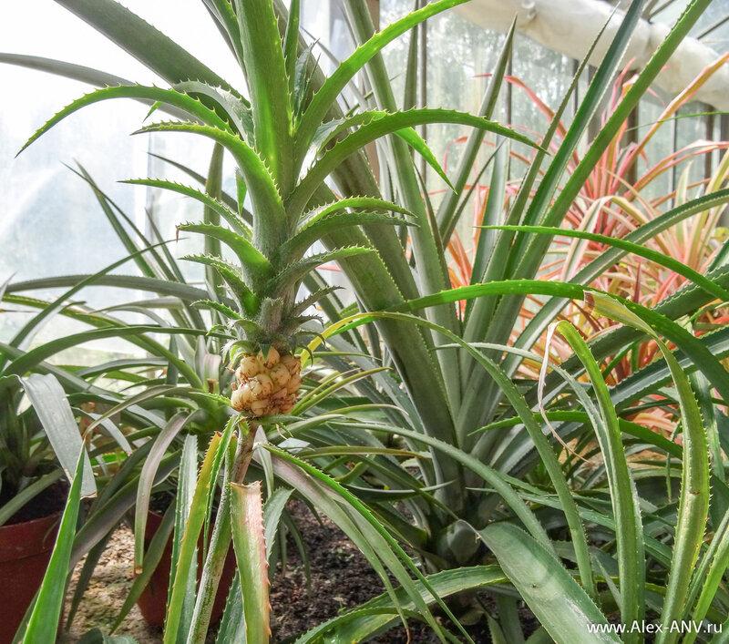 Если кто вдруг не признал - это ананас, только маленький ещё.