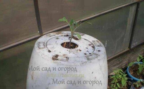 Вот и посажен томат головой вниз, а корнями к небу.