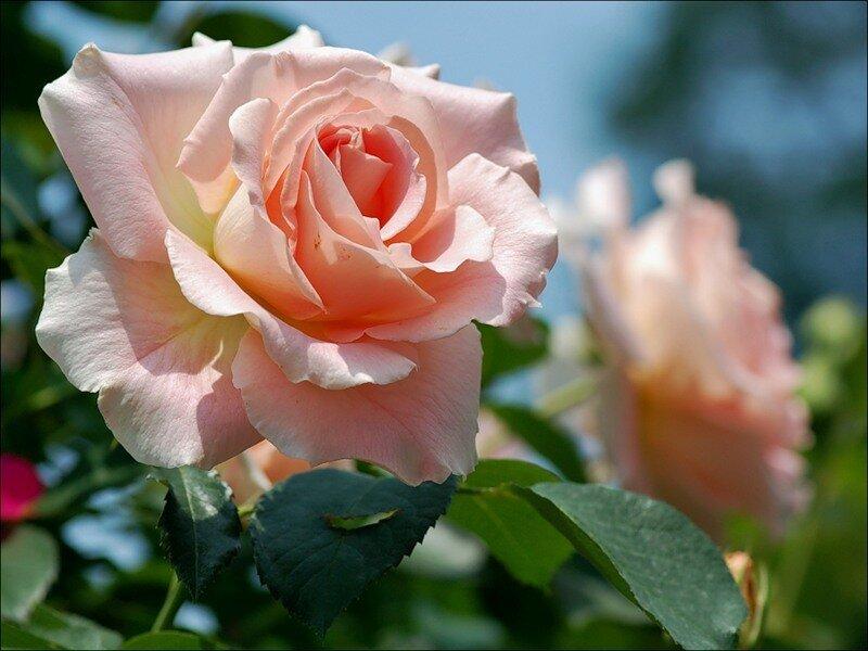 Цветы в букете пахнут розы, цветов гофрированной