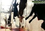 Убийство коров