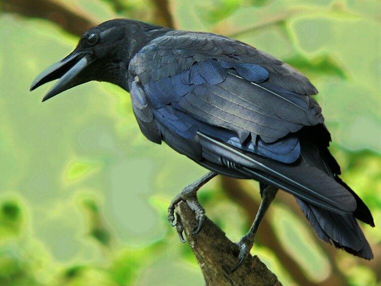 Crow.Ворон