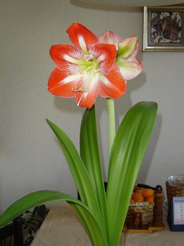 обоих случаях названия цветка с луковицей с картинками сообщили, что знаменитость