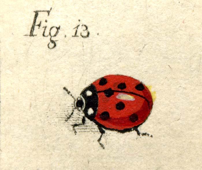 Johann Rudolph Schellenberg, Round beetle, superzoom, 1761.jpg