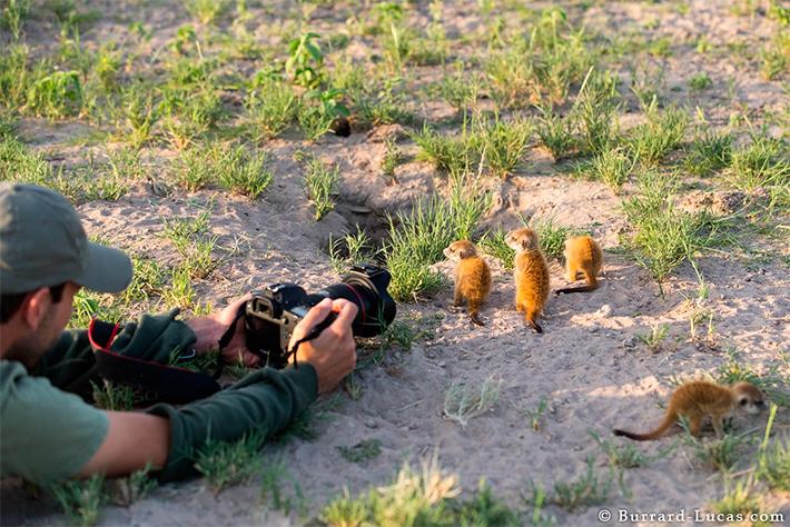 Необычная дружба сурикатов с фотографом
