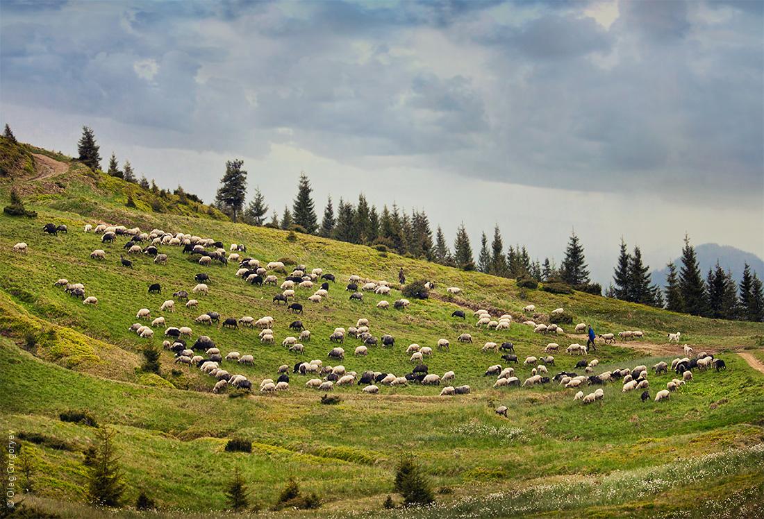 Брынза овечья