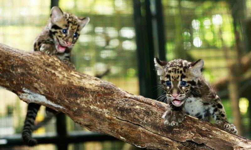 Детеныши дымчатого леопарда из зоопарка Сингапура.