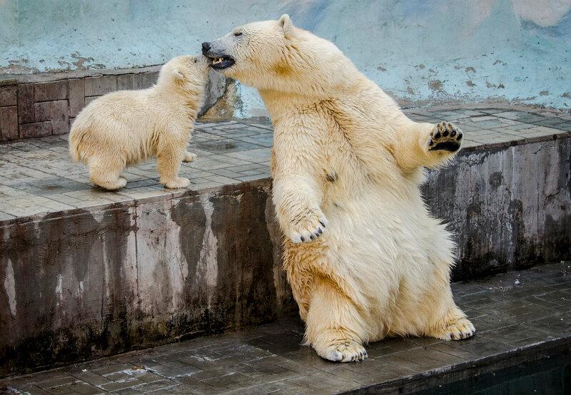 Zoo Novosibirsk.  Ídolo do público - Gerda com o bebê