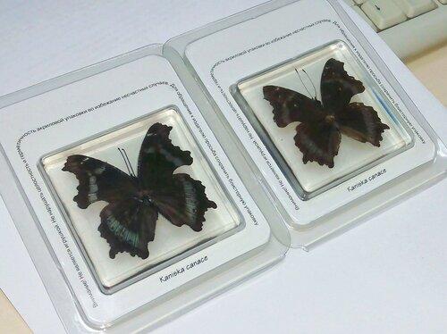 Бабочки №94 - Траурница японская (Kaniska canace)
