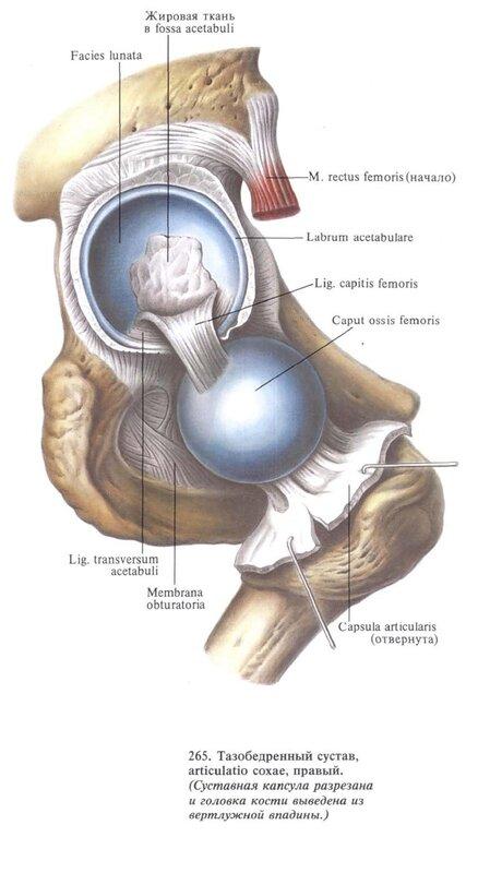 Коленный сустав (Суставная капсула удалена).