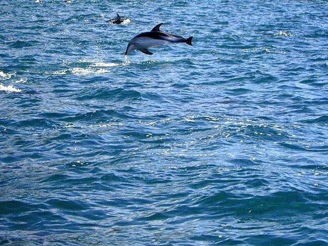 Выпрыгивающие из воды дельфины около новозеландского города Каикоура