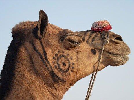 Ярмарка верблюдов в Пушкаре
