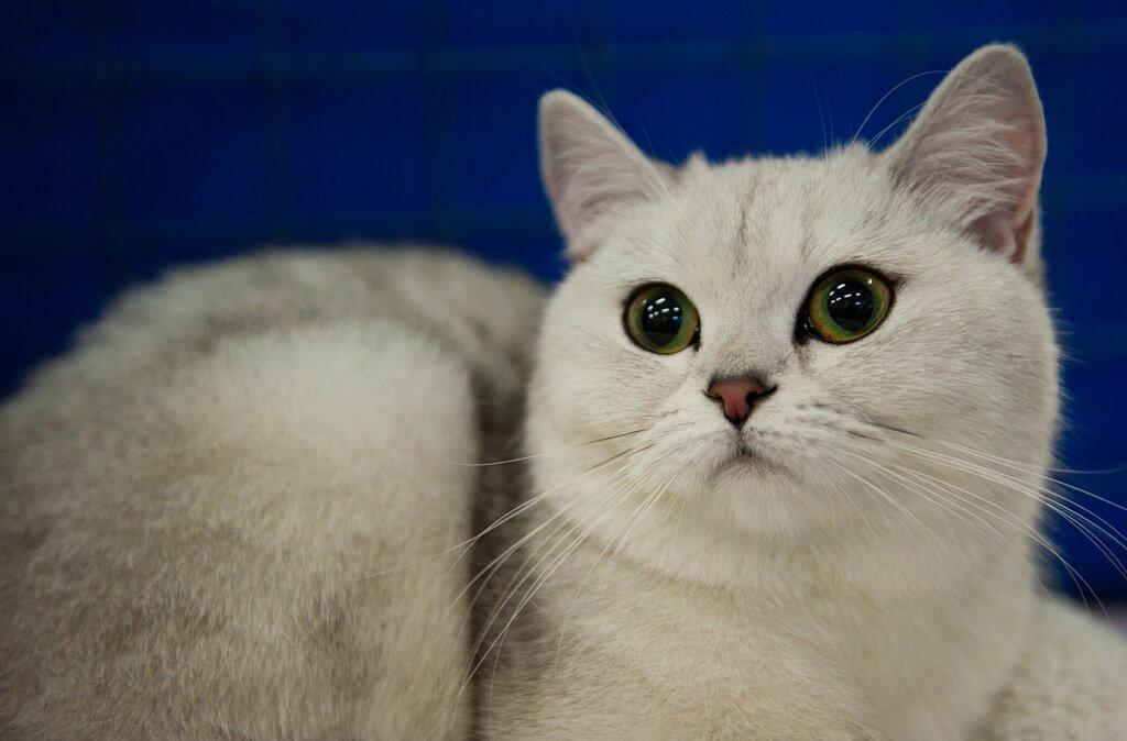 дно эмалированной шотландская прямоухая шиншилла кошка фото данного