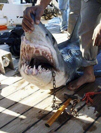 Поймана акула-убийца в Египте (5 фото) - юмор, анекдоты, фотографии, игры.