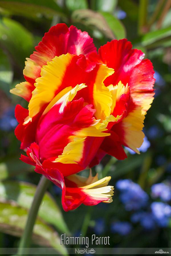 Я люблю все цветы, выпуск #99 | Тюльпаны-«попугаи».