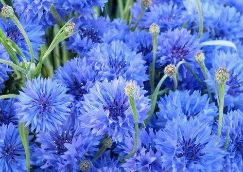 Фото васильков цветов