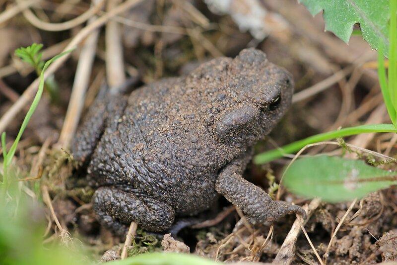 Серая, или обыкновенная жаба (Bufo bufo)