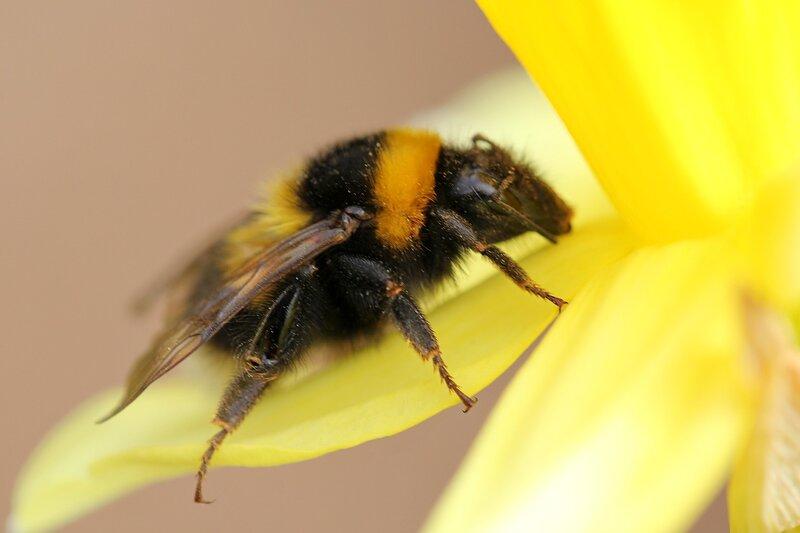 Шмель (лат. Bombus) на цветке нарцисса
