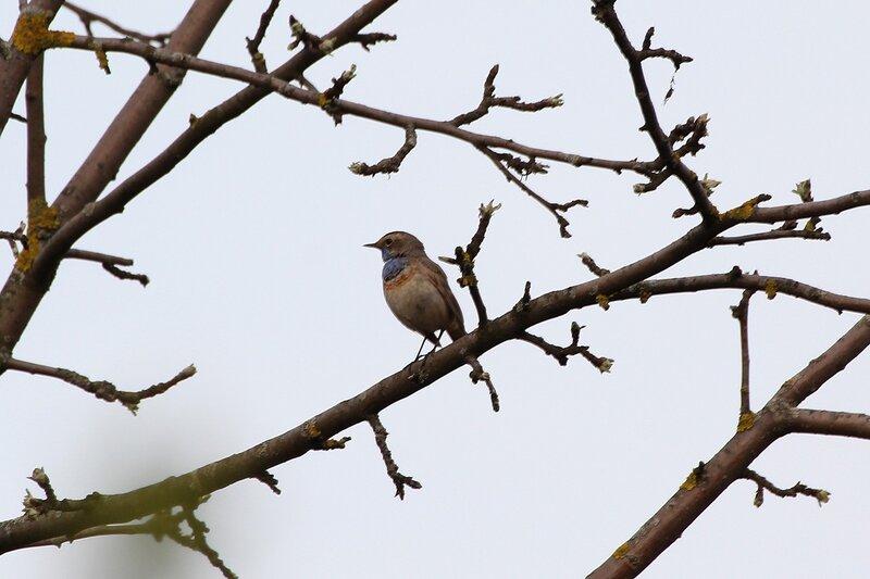 Варакушка  (лат. Luscinia svecica) на ветке дерева - птица с синим вортничком на шее