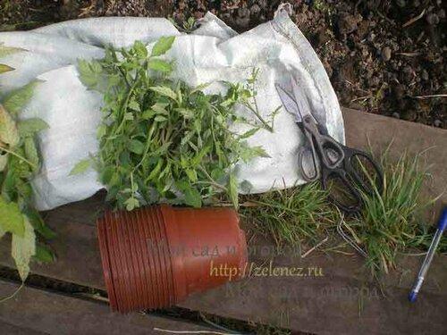 Размножаем томаты отрезанными пасынками