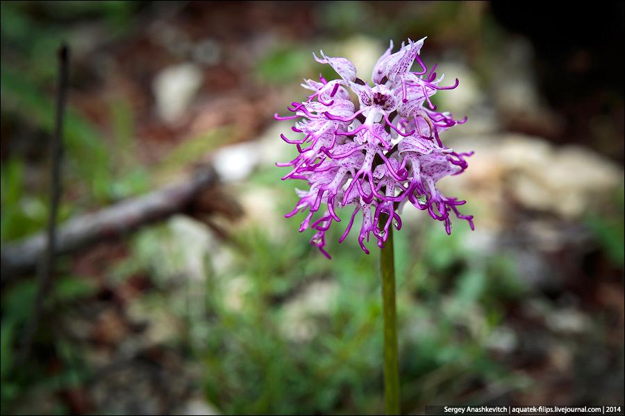 Дикие орхидеи Черногории