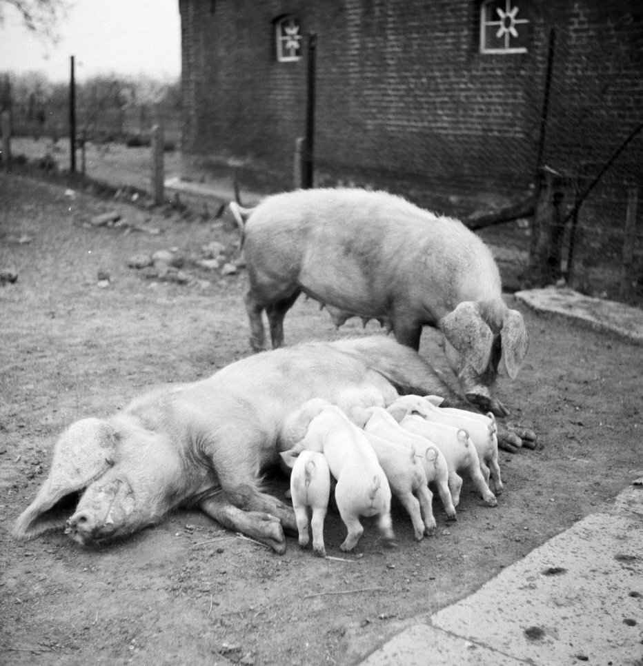 Sow and her piggies