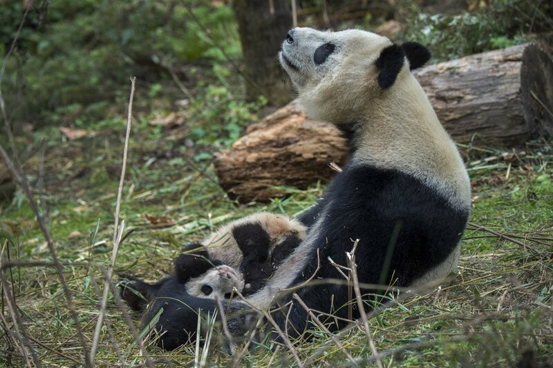 Как выращивают панд в Китае