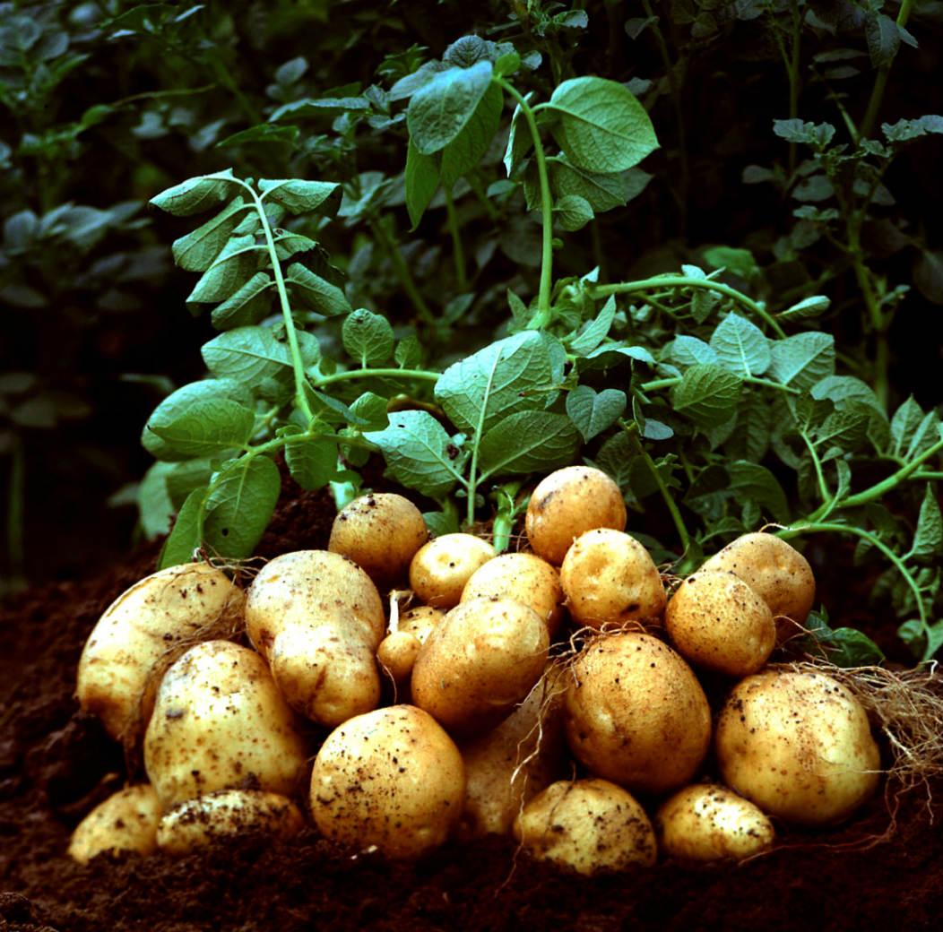 ГМО картошка