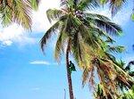 В кроне пальмы (Момбаса, Кения)