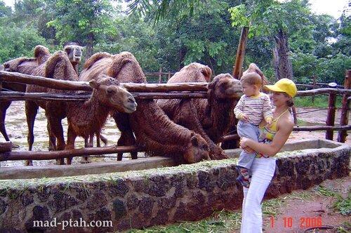 верблюды, хайкоу, сафари парк, хайнань, китай