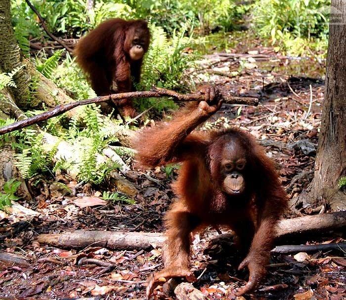Орангутаны (Цент.Калимантан)