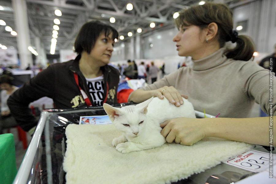 выставка кошек Девон-рекс